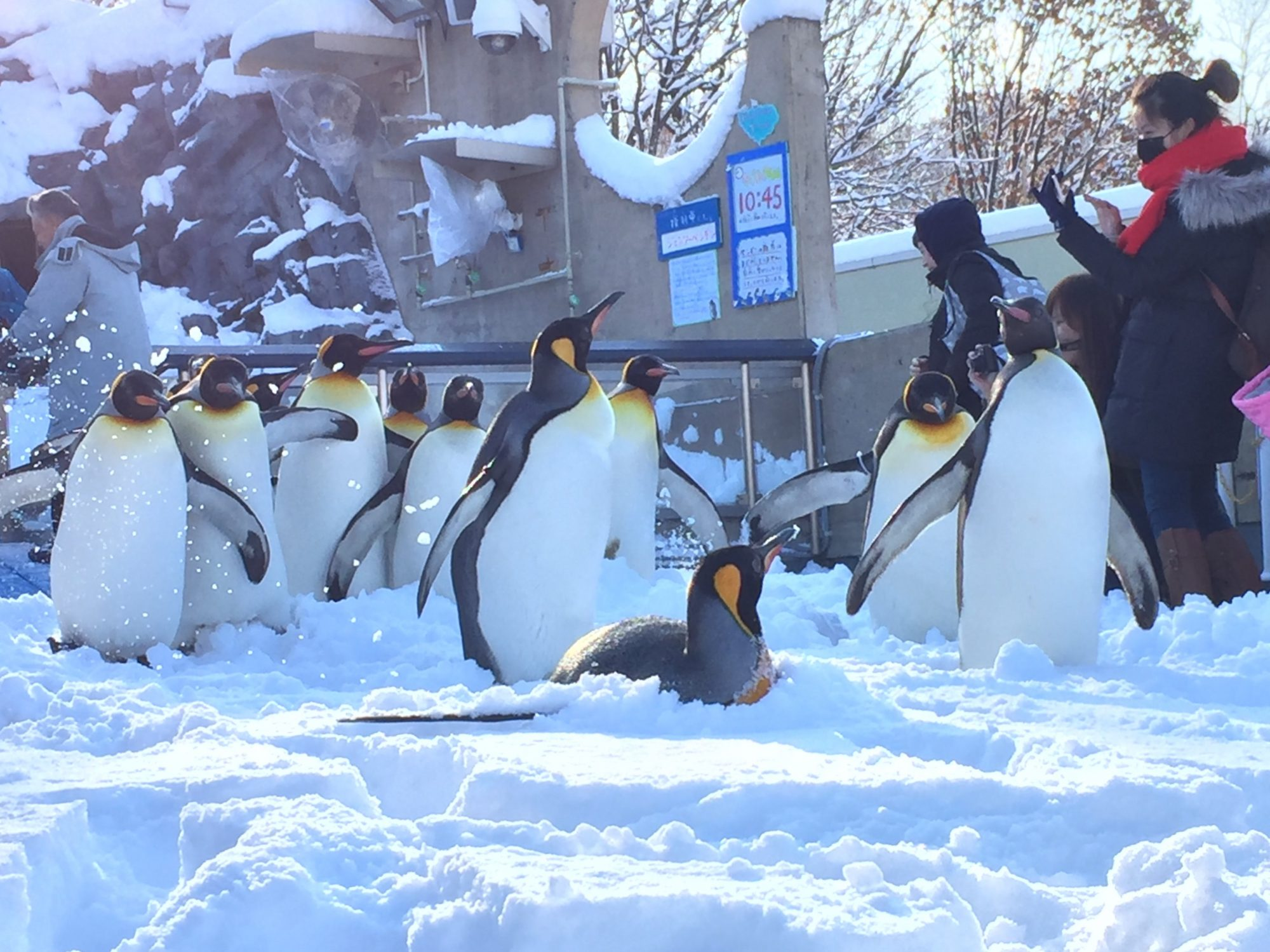 旭山動物園「ペンギンのお散歩」スタート〜冬の運動不足解消を