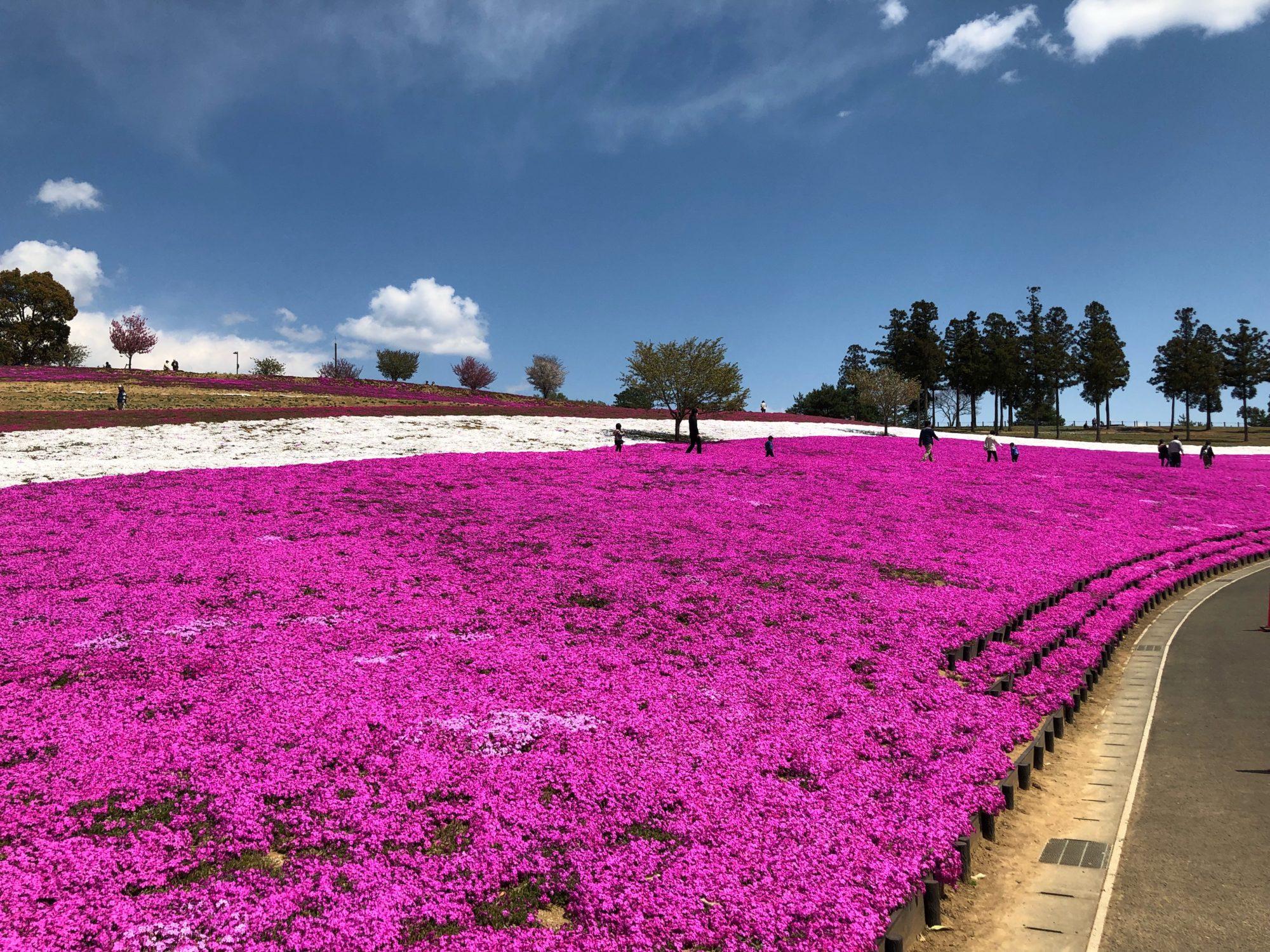 群馬県太田市の芝桜まつり|4月が見頃です