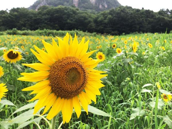 大岩フラワーガーデンのひまわり畑と尾島ねぷた祭を見物した夏らしい1日|糖尿病内科医のフリースタイルリブレ自己血糖記録